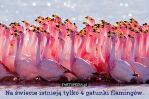 Żródło zdjęcia: http://faktopedia.pl/szukaj?q=flamingi&where=glowna&when=inf&size=max
